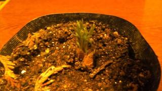 ミニトマトのペット栽培