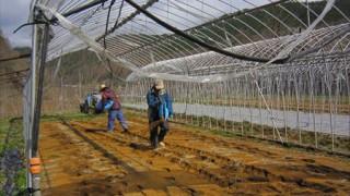 ほうれん草栽培に内城菌を取り入れてみることにしました。