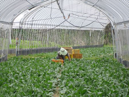 ほうれん草の収穫作業