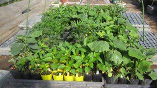 菜園の苗の定植を始めました。
