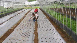 チンゲンサイの栽培を開始しています。