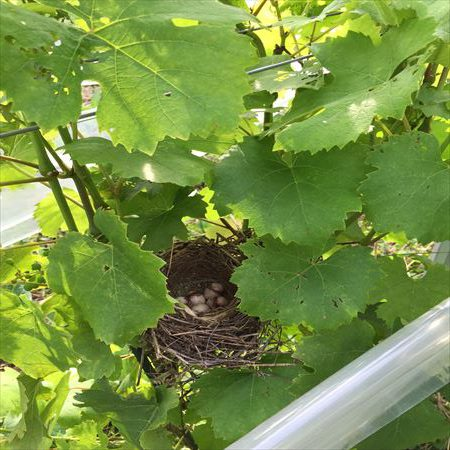 ブドウ畑の鳥の巣