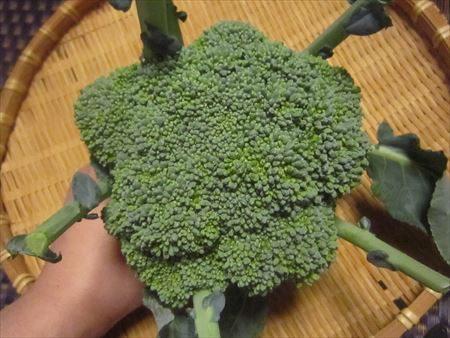 カリフラワー畑で収穫したブロッコリー