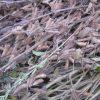 大豆(無肥料・無農薬)を収穫しました。