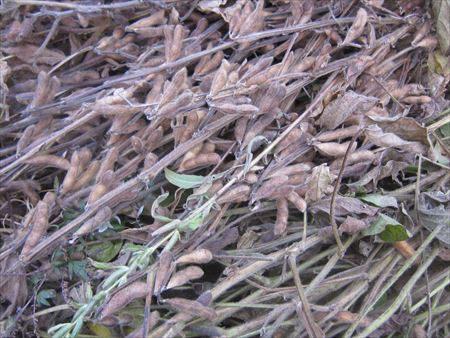 刈り取った大豆